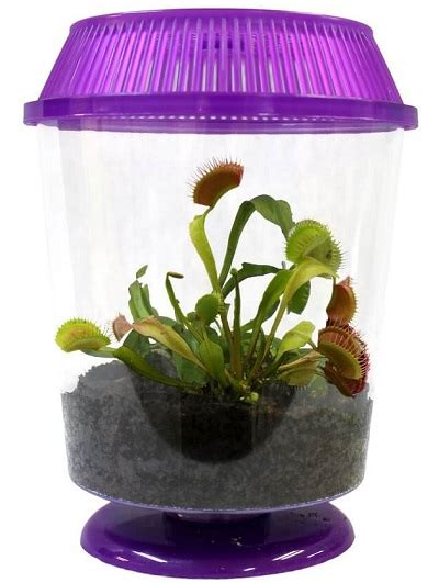 Live Adult Venus Fly Trap - Butterfly and Nature Gifts