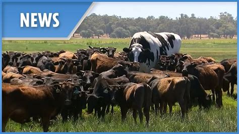 Australia's biggest cow saved from the chop - YouTube