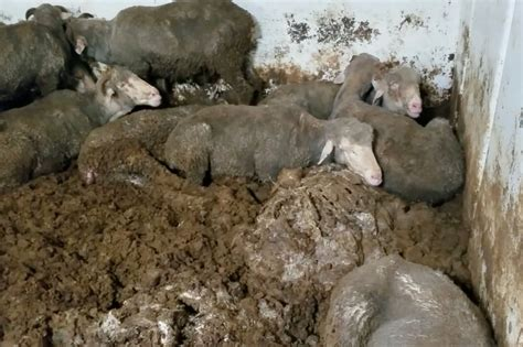 Independent economic report supports end to live sheep