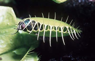 Amazing pictures of Venus Fly Trap plants eating all kinds